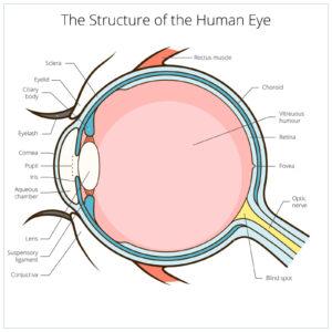 Bates method - eye structure