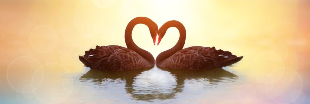 Love - swans