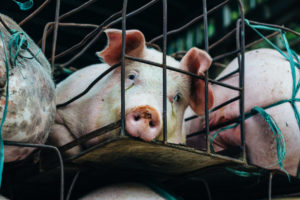 Factory farmed meat - pig in a cage